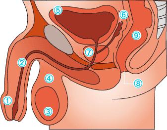 Anatomie der Prostata